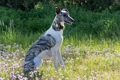 Gray-white whippet Royalty Free Stock Photography