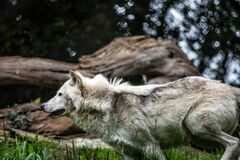 Gray and White Wolf Stock Photography