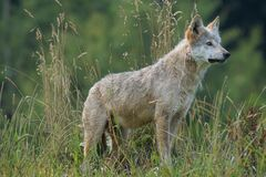 Gray and White Wolf on Grass Field Looking during Daytime Stock Photography