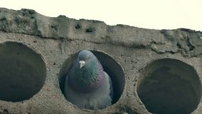 Gray wild pigeon bird sitting in a concrete slab stock video