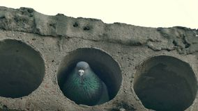 Gray wild pigeon bird sitting in concrete slab stock footage