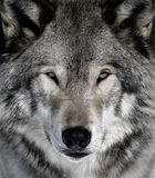 Gray Wolf. Close-up portrait of a gray wolf