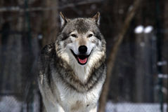 Gray Wolf royalty free stock image