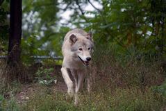 Gray Wolf. Closeup picture of a gray wolf in its natural habitat Royalty Free Stock Photos