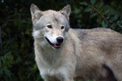 Gray Wolf. Closeup picture of a gray wolf in its natural habitat Stock Photography