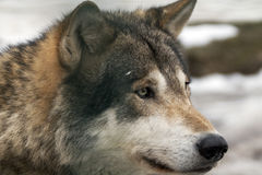 Gray Wolf. Portrait of an male gray russische wolf Stock Image