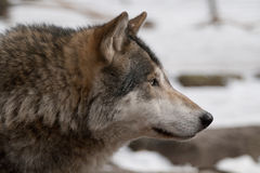 Gray wolf. On a winter day, a gray wolf is looking up Royalty Free Stock Images