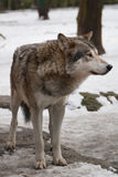 Gray wolf. On a winter day, a gray wolf is looking up Royalty Free Stock Photography