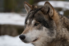 Gray wolf. On a winter day, a gray wolf is looking up Stock Photo
