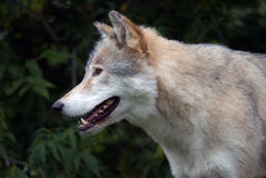 Gray Wolf. Closeup picture of a gray wolf in its natural habitat Stock Photo