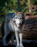 Gray wolf. With is winter coat Stock Photos