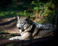Gray wolf. With is winter coat Royalty Free Stock Photos
