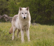 Gray wolf royalty free stock photography