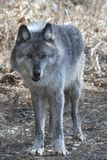 Gray wolf. In british columbia canada Stock Images