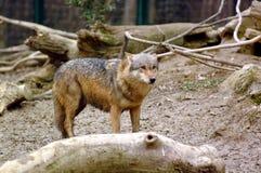 Gray wolf Royalty Free Stock Photos