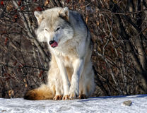 Gray Wolf. Picture of a beautiful gray wolf on a sunny day Stock Images