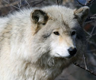 Gray Wolf. Picture of a beautiful gray wolf on a sunny day Stock Photo