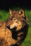 Gray Wolf. A close up of a gray wolf Stock Images