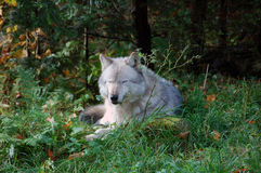 Gray Wolf. A gray wolf in a majestic forest in autumn Royalty Free Stock Photography