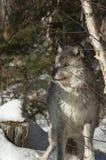 Gray Wolf Stock Photos