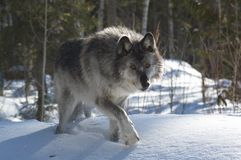 Gray Wolf Stock Photos