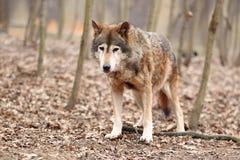 Gray wolf Stock Image