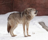 Gray wolf. On early spring in moscow zoo Stock Image