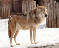 Gray wolf. On early spring in moscow zoo Stock Images