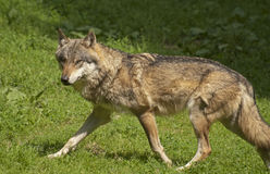 Gray wolf. The gray wolf is a species of canid Stock Photography