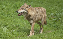 Gray wolf. The gray wolf (Canis lupus) is a species of canid Stock Photo