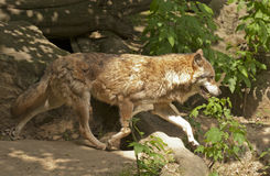 Gray wolf. The gray wolf (Canis lupus) is a species of canid Royalty Free Stock Photos