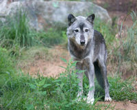 Gray Wolf Images stock