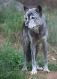 Gray Wolf Photos stock