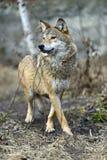 Gray Wolf Fotos de archivo