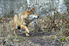 Gray Wolf Fotografía de archivo