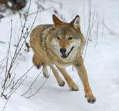 Gray Wolf Foto de archivo libre de regalías
