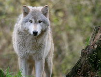 Gray Wolf. Staring right at me Stock Image