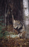 Gray wolf. In the forest Stock Photo
