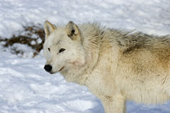 Gray wolf. Female alpha wolf on a Northern Minnesota pack Stock Photography
