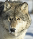 Gray wolf Stock Photography
