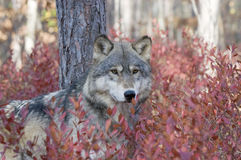 Gray wolf. In autumn blueberry bushes Royalty Free Stock Photos