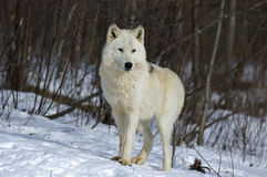 Gray wolf Stock Image