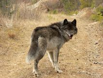 Gray Wolf. Looking over his shoulder on logging road. Golden, British Columbia, Canada Stock Photos