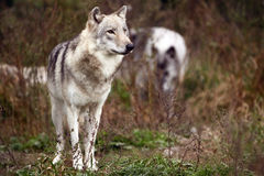 Gray Wolf. Closeup of a Gray Wolf watching her territory with her pack in the background Royalty Free Stock Photos