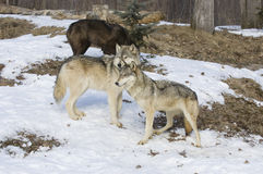 Gray wolf. Members of wolf pack in winter. Northern Minnesota Royalty Free Stock Image