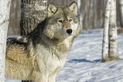 Gray wolf. In Northern Minnesota forest Royalty Free Stock Image