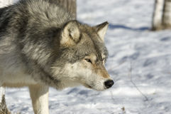 Gray wolf. Staring from behind tree Stock Images