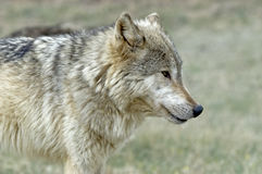 Gray wolf. Close up of a gray wolf Stock Photos