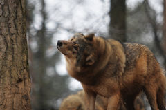 Gray Wolf Royalty Free Stock Photo
