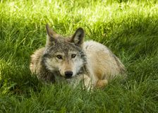 Gray wolf. Grey wolf laying in a green grass looking into a camera Stock Images